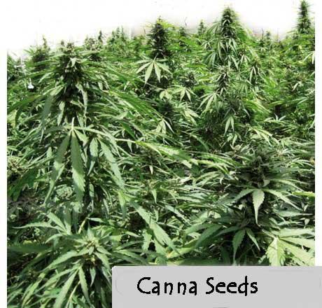 Afghan Express Autoflowering feminised Seeds - 3-seeds