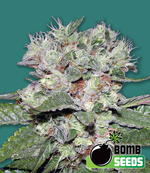 Bomb CBD Feminised Seeds - 5-seeds