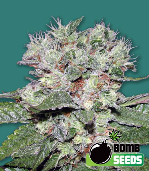 Bomb CBD Feminised Seeds - 5-seeds