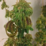 Euphoria CBD Feminised Seeds - 3-seeds