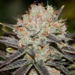 Chocolate Haze Feminised Seeds - 3-seeds