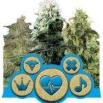 Medical Mix CBD Feminised Seeds - 3-seeds