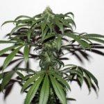 Purple Bud Regular Seeds - 10-seeds