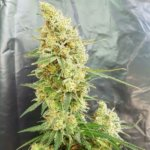 Gorilla Banana Feminised Seeds - 15-seeds