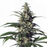 Green Doctor (GD-1) Feminised Seeds - 3-seeds