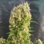 Chemdog Gorilla Feminised Seeds - 15