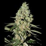 Super Critical Bud CBD Feminised Seeds - 3-seeds