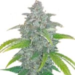 Blue Dream'matic Auto Feminised Seeds - 10-seeds