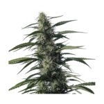 Txaki (TX - 1) Feminised Seeds - 3-seeds