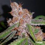 Purple Urkle Feminised Seeds - 5-seeds