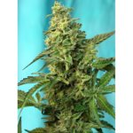 Green Poison FAST Version Feminised Seeds - 25-seeds