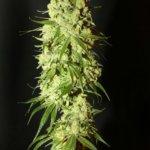 Cannatonic Regular Seeds - 10-seeds