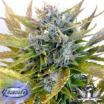 Super Blueberry Haze Auto Regular Seeds - 8-seeds