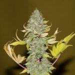 Bruce Banger Feminised Seeds - 10-seeds
