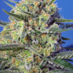 Crystal Candy F1 Fast Version Feminised Seeds - 5-seeds