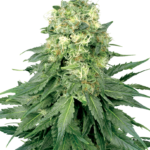 White Widow Feminised Seeds - 10-seeds