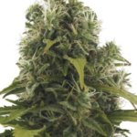 2 Fast 2 Vast Auto Feminised Seeds - 5-seeds