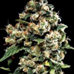Jack Herer Feminised Seeds - 10-seeds