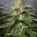 OG Kush CBD Feminised Seeds - 5-seeds