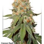 Orange Bud Seeds - 3-seeds