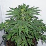 Charlotte's Angel CBD Feminised Seeds - 10-seeds
