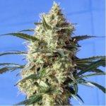 Snow White Feminised Seeds - 5-seeds
