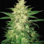 Colombian Gold Ryder Auto Feminised Seeds - 3-seeds