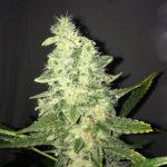 Supreme CBD Kush Feminised Seeds - 5 - 5-seeds