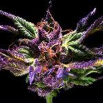 Grand Daddy Purple Regular Seeds - 10-seeds