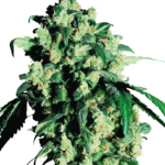 Super Skunk Regular Seeds - 10-seeds