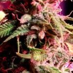 Strawberry StarDawg Feminised Seeds - 5-seeds