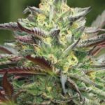 All Gas OG Feminised Seeds - 10-seeds