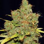 C99 x Blueberry FAST Feminised Seeds - 5-seeds