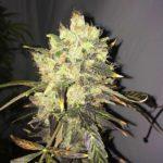 Supreme CBD Durban Feminised Seeds - 5-seeds