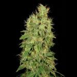 Chronic CBD Feminised Seeds - 5-seeds