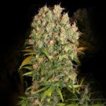 Warlock CBD Feminised Seeds - 5-seeds