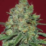 Clinical White CBD Feminised Seeds - 5-seeds