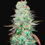 G14 Auto Feminised Seeds - 3-seeds