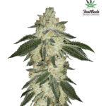 Green Crack Auto Feminised Seeds - 3-seeds