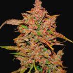 Crystal METH Auto Feminised Seeds - 5-seeds