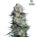 Mexican Airlines Auto Feminised Seeds - 3-seeds