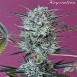 Krystalica Regular Seeds - 10-seeds