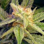 Blue Mystic Feminised Seeds - 5-seeds