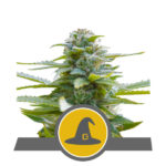 Exotic Witch Regular Seeds - 10-seeds