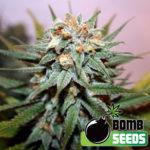 Hash Bomb Regular Seeds - 10-seeds
