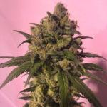 Highlo CBD Feminised Seeds - 5-seeds