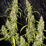 Neville's Haze Regular Seeds - 15-seeds