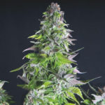Romulan Feminised Seeds - 5-seeds