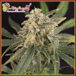 Sour Tang Kripple Feminised Seeds - 5-seeds