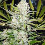 Super Silver Haze Regular Seeds - 15-seeds